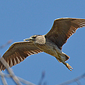 Flight Of The Night Heron by Sheila Lee