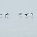 Flight Of The Oystercatchers by Dale Reynolds