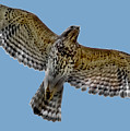 Flight Of The Red Shouldered Hawk by DigiArt Diaries by Vicky B Fuller