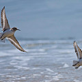 Flight Of The Sanderlings by MCM Photography