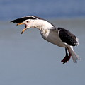 Flight Of The Screaming Gull . 7d4934 by Wingsdomain Art and Photography
