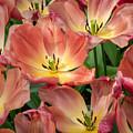Flighty Tulips by Cheryl Schneider