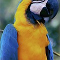 Flirtacious Macaw by DigiArt Diaries by Vicky B Fuller