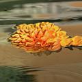 Floating Beauty - Hot Orange Chrysanthemum Blossom In A Silky Fountain by Georgia Mizuleva