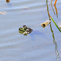 Floating Frog by Shoal Hollingsworth