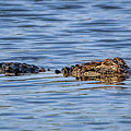 Floating Gator by Tom Claud