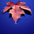 Floating Leaf 2 - Maple by Dean Birinyi