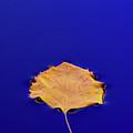 Floating Leaf 3 - Birch by Dean Birinyi