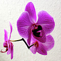 Floating Orchid by Francesco Roncone