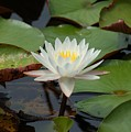 Floating Water Lilly by Michael Thomas