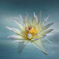Floating Water Lily by Kim Hojnacki