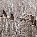 Flock Of Geese by Paul Freidlund