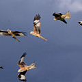 Flock Of Red Kites by Martyn Arnold