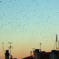 Flock Of Swallows Flying Over Rooftops At Sunset During Fall by Sami Sarkis