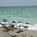 Flock Of Terns Gp by Chris Andruskiewicz
