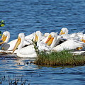 Flock Of White Pelicans by Daniel Caracappa