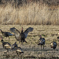 Flock Of Wild Turkeys by Belinda Greb