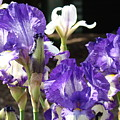 Flora Bota Irises Purple White Iris Flowers 29 Iris Art Prints Baslee Troutman by Baslee Troutman