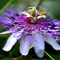 Flora Passiflora by Willows Cabin