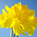 Floral Art Bright Yellow Daffodil Flowers Baslee Troutman by Baslee Troutman