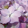 Floral Art Hydrangea Flowers Purple Lavender Baslee Troutman by Baslee Troutman