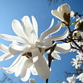 Floral Art Print Landscape Magnolia Tree Flowers White Baslee Troutman by Baslee Troutman