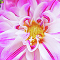 Floral Art Prints Big Pink White Dahlia Flower Baslee Troutman by Baslee Troutman