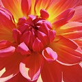 Floral Art Prints Orange Pink Dahlia Flower Baslee Troutman by Baslee Troutman