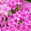 Floral Art Prints Pink Azalea Garden Landscape Baslee Troutman by Baslee Troutman