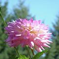 Floral Art Prints Pink White Dahlia Flower Pastel Baslee Troutman by Baslee Troutman