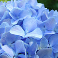 Floral Artwork Blue Hydrangea Flowers Baslee Troutman by Baslee Troutman