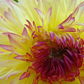 Floral Fine Art Dahlia Flower Yellow Red Prints Baslee Troutman by Baslee Troutman