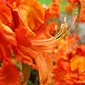 Floral Garden Art Prints Orange Rhododendrons Baslee Troutman by Baslee Troutman