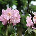 Floral Garden Pink Rhododendron Flowers Baslee Troutman by Baslee Troutman