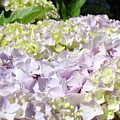 Floral Hydrangea Flowers Art Prints Lavender Baslee Troutman by Baslee Troutman