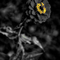 Floral October Zinnia End Of Season Sc 02 Vertical by Thomas Woolworth