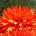 Floral Orange Dahlia Flowers Art Prints by Baslee Troutman Floral Fine Art Prints