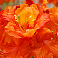 Floral Rhodies Art Prints Orange Rhododendrons Canvas Art Baslee Troutman by Baslee Troutman