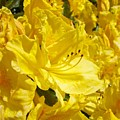Floral Rhododendrons Garden Art Print Yellow Rhodies Baslee Troutman by Baslee Troutman