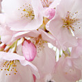 Floral Soft Pink Blossoms Spring Art Baslee Troutman by Baslee Troutman