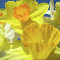 Floral Spring Garden Art Prints Yellow Daffodils Flowers Baslee Troutman by Baslee Troutman