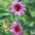 Flores De La Allamanda by Michael Peychich