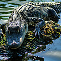 Florida Alligator by Ben Graham
