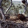 Florida: Bald Eagles, 1983 by Granger