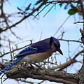 Florida Blue Jay by William Tasker