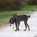 Florida Bobcat Catches An Evening Snack by Barbara Bowen