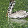 Florida Brown Pelican by D Hackett