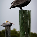 Florida Brown Pelican by Susie Weaver