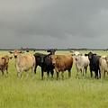 Florida Cattle Ranch by Bradford Martin
