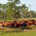 Florida Cracker Cows #1 by Teresa A and Preston S Cole Photography